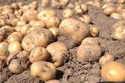 Kartoffel auf dem Feld