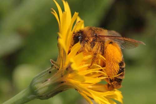 Biene sucht Nektar